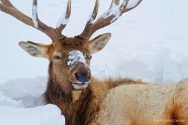 Wapiti mâle, Parc National de Yellowstone, Etats-Unis, 23 Janvier 2017