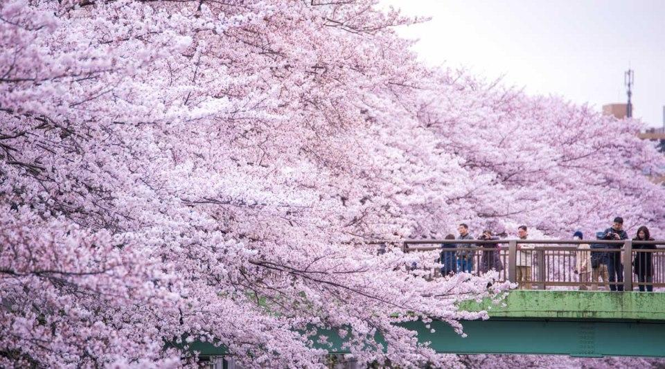 個人的にこの神田川の桜は今年一綺麗なロケーションでした。