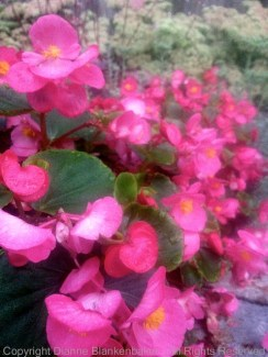 Shooting down the front of a row of begonias