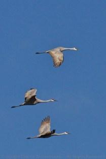 Triplet of Sandhill Cranes