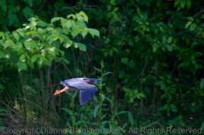 I really like the light on this Green Heron's legs even though the head angle is not ideal