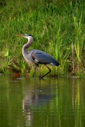 Great Blue Heron in Chattanooga wetland