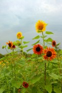 Sunflowers in bright sunshine against gray sky