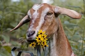 Goat eating flowers