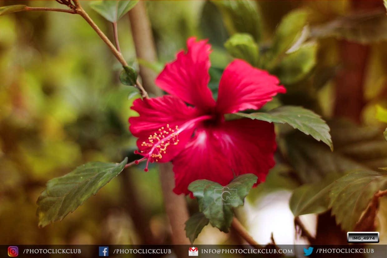 Hibiscus - An Anti Ageing Plant - on photoclickclub