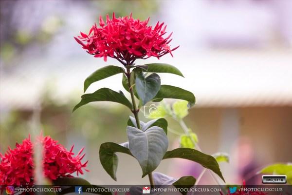 Floribunda Roses - on photoclickclub