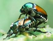 Beetle macro bug sex