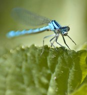 Macro of blue dragonfly landing on leaf