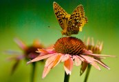 Marco of butterfly on pink daisies