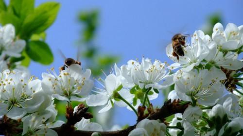 Цветы, пчёлы - Весна - Природа - Картинки на рабочий стол