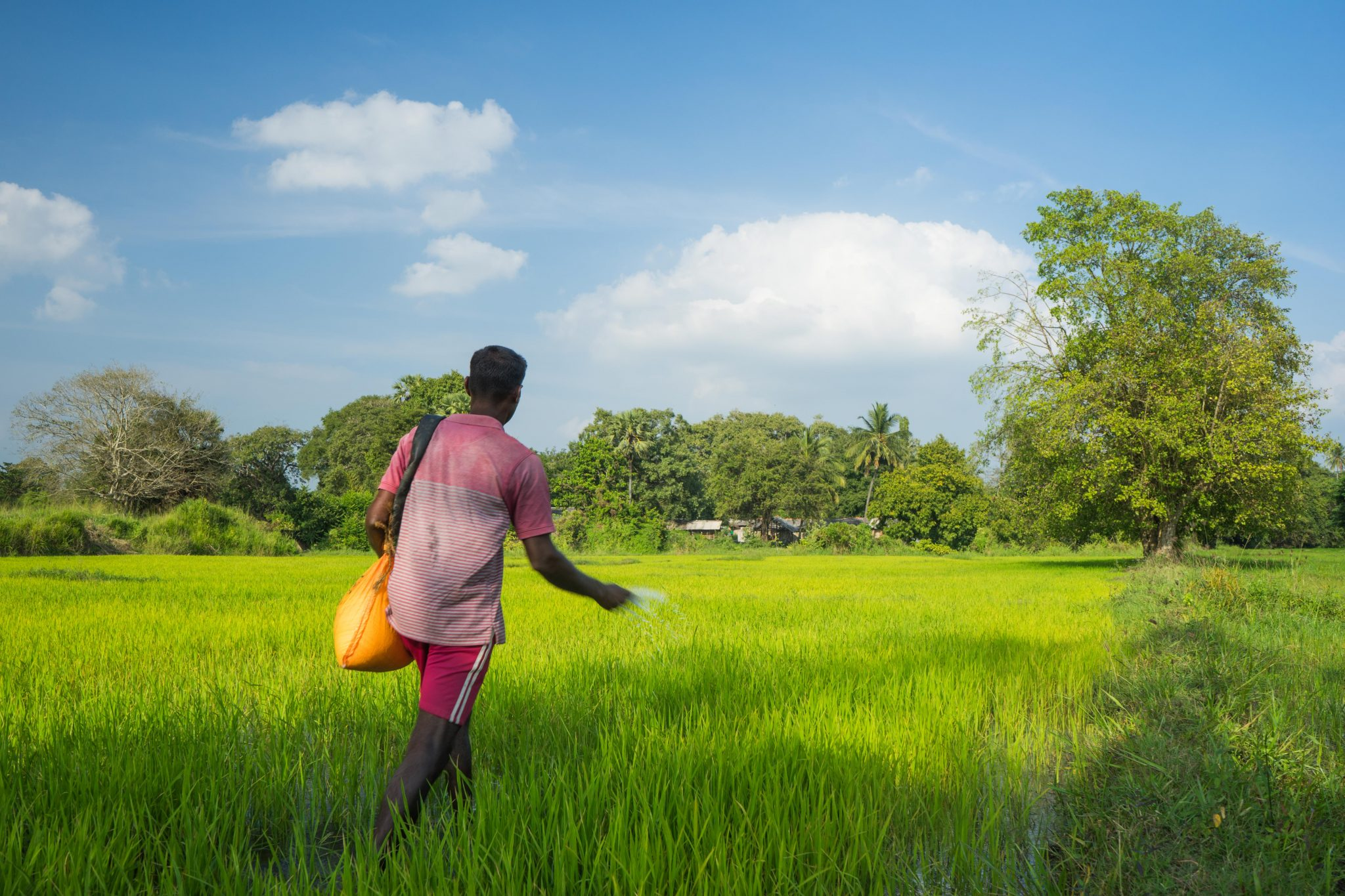 Worker in red shirt throwing fertilizer into an rice field in Anuradhapura, Sri Lanka