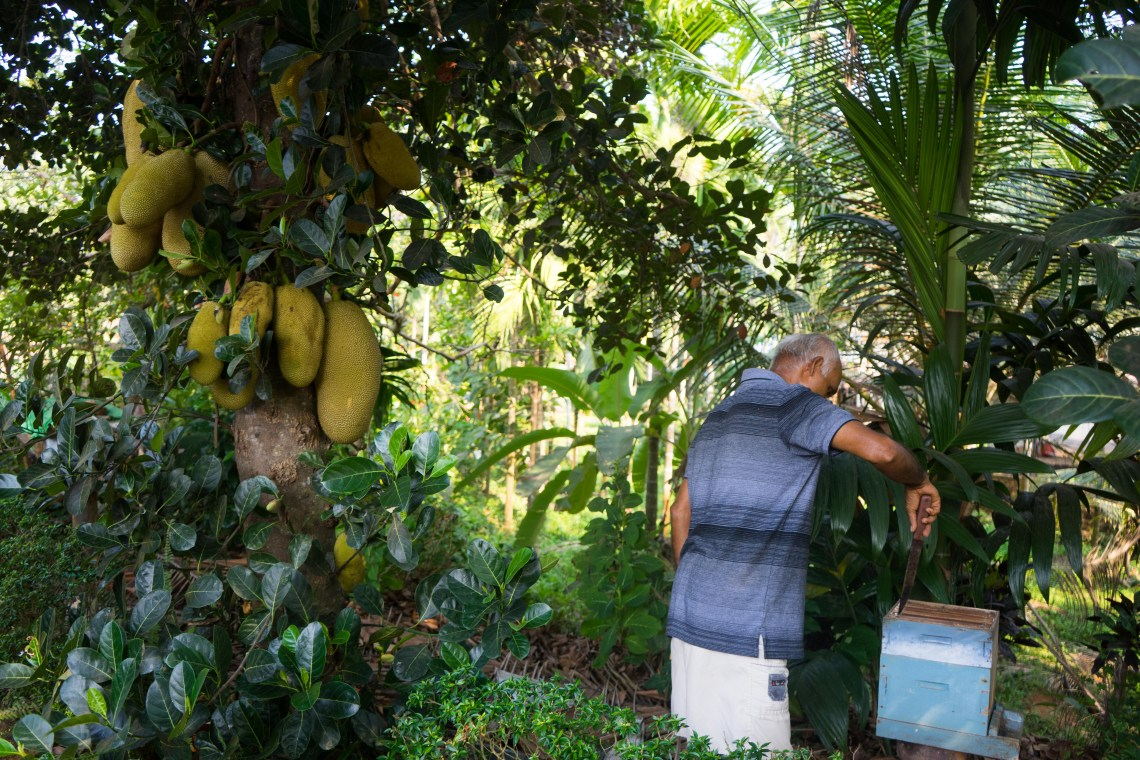 A jack fruit tree standing next to a beehive being harvested by Jayson's father