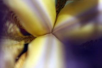 Coeur d'iris