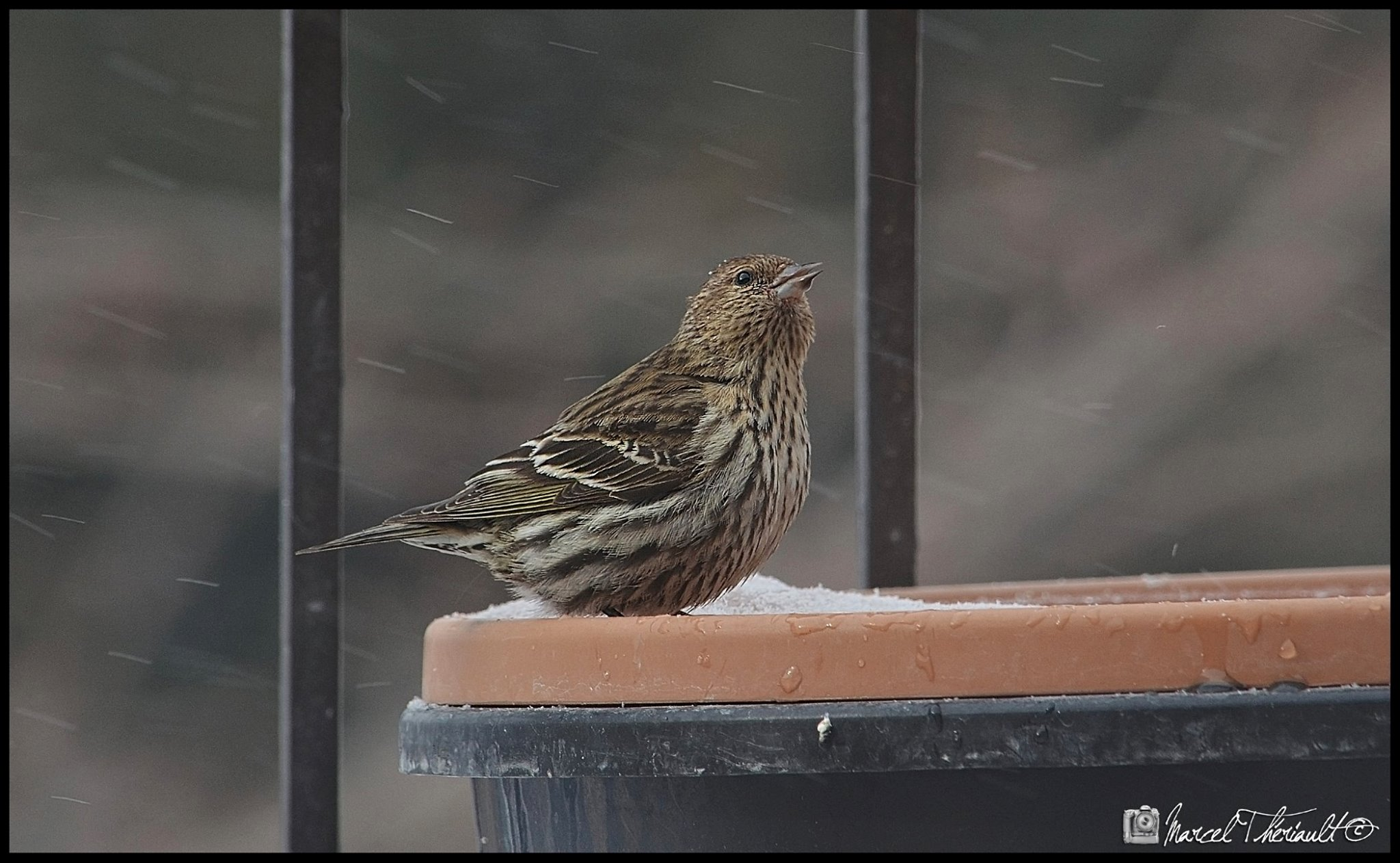 Pine Siskin on My Balcony by Marcel Theriault‎