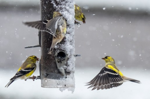 Goldfinches feeding before the snowstorm by Ric Rus