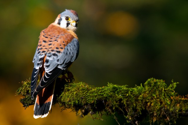 Matt Tiegs: American Kestrel
