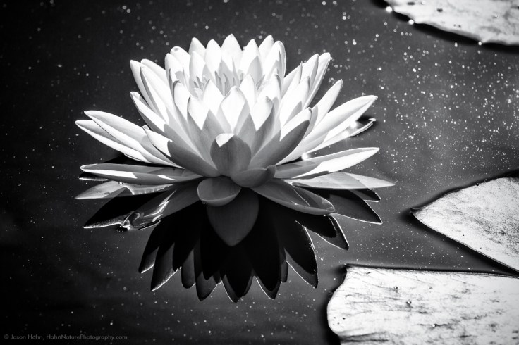 Shot using backlighting, the low sunset sun creates high contrast in this water lily, placing the emphasis on shapes and shadows. © Jason Hahn, HahnNaturePhotography.com. Canon 5d MkIII with Tamron 150-600mm lens
