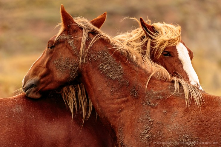 Wild Horse Stallion and Mare Nuzzling