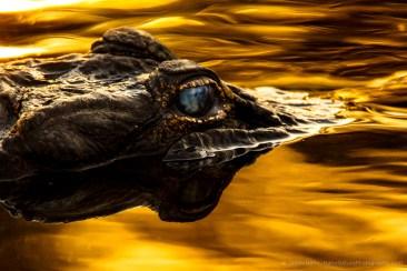 jhahn-alligator-myakka-_G0C3839