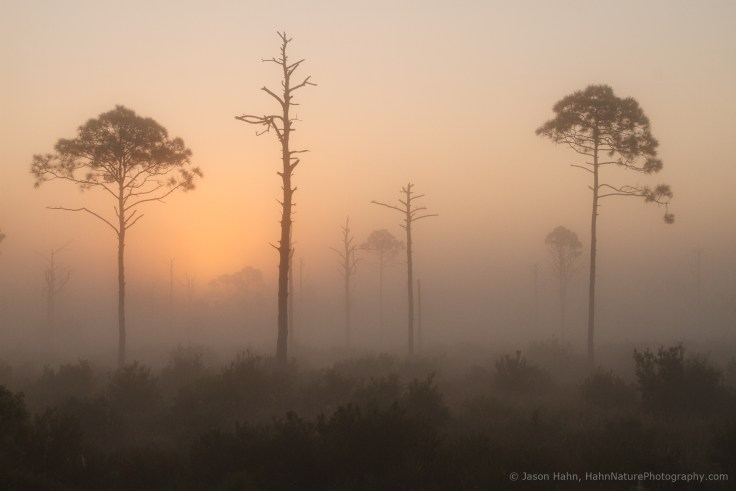 Snags and pines emerging from the fog at sunrise. Ground fog can really add dimension and depth to your images as it fades into the distance.