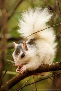 jhahn-white-squirrel-st-marks-NWR-20170104-0001-Edit-3-Edit