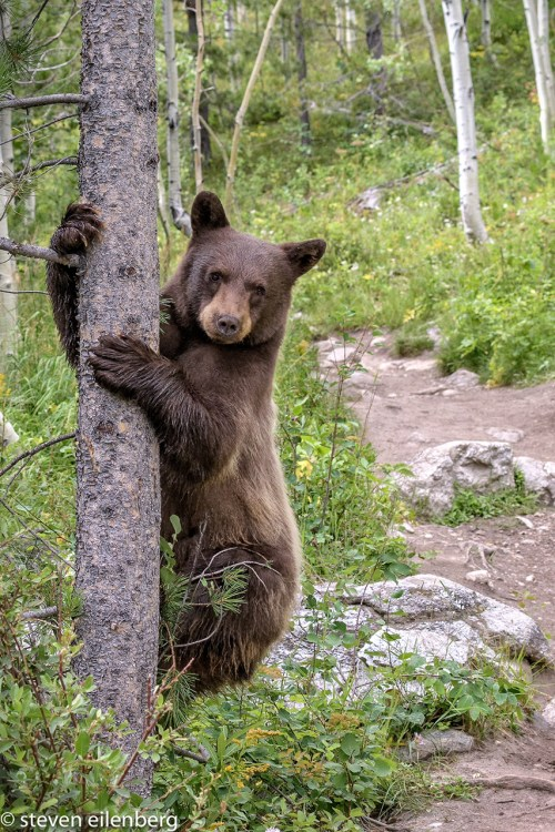 Young bear in Grand Teton Wyoming © 2017 Steve Eilenberg