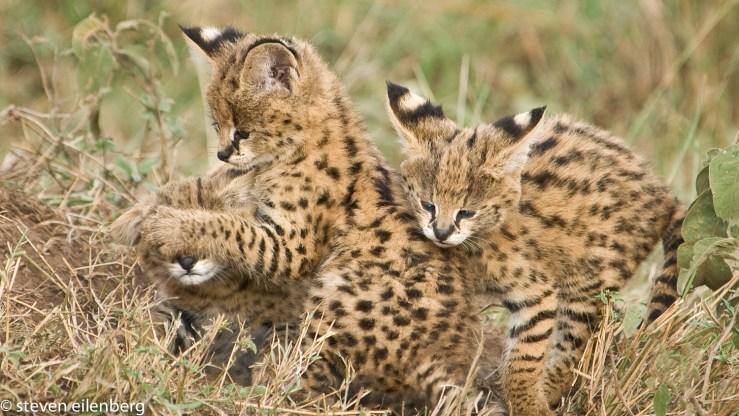 Serval kittens. Kenya 2007