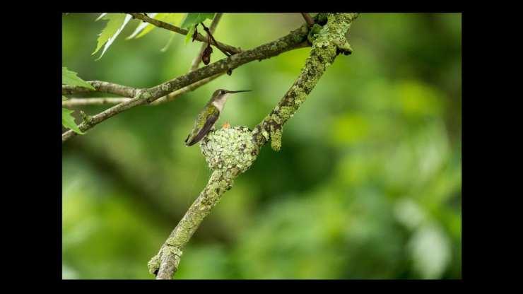Green hummingbird