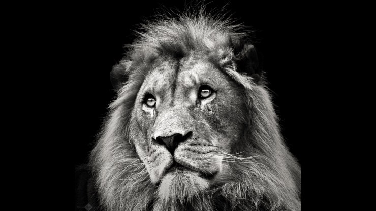"""Christian Meermann is the Photofocus Photographer of the Day with """"Lion""""."""