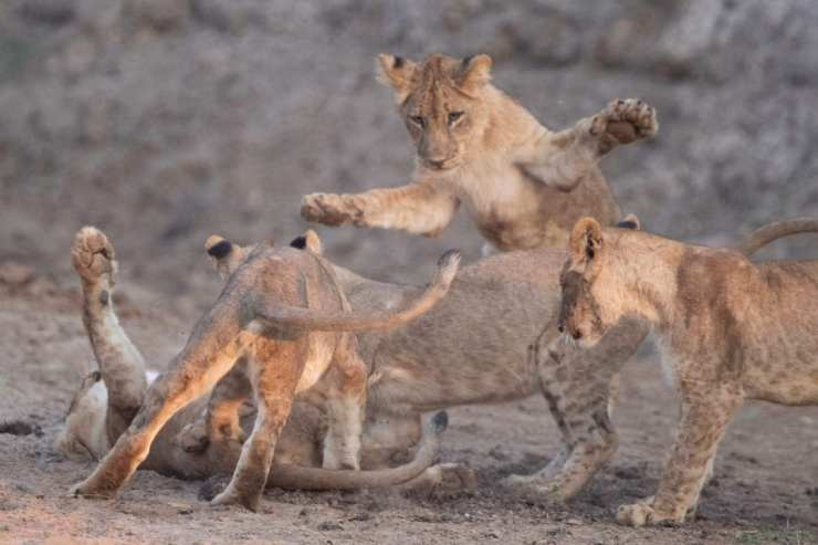 Lion cubs playing. Photo by Thomas Lehman