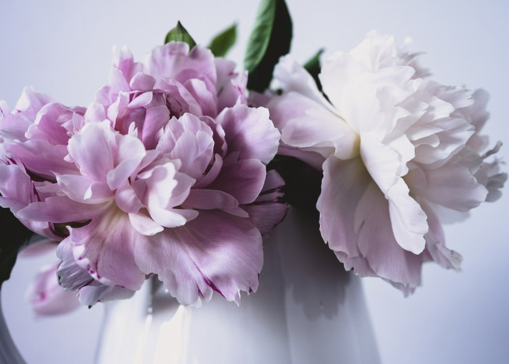 Peony a still life photo by Julie Powell