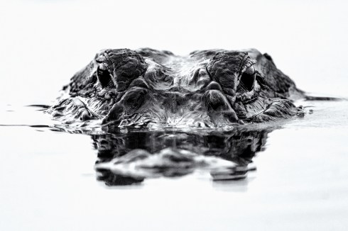 "Alligator; the ""harsh"" midday light can be great for high contrast dramatic black and whites"