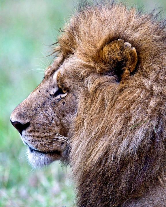 Male lion in profile. Photo by Thomas Lehman