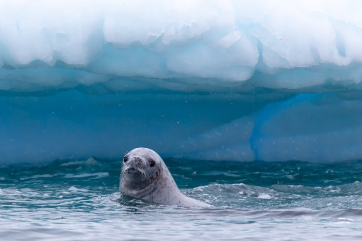 Leopard Seal Antarctic Peninsula