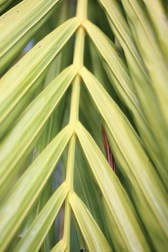 Strong repetition in a palm leaf is a strong composition.