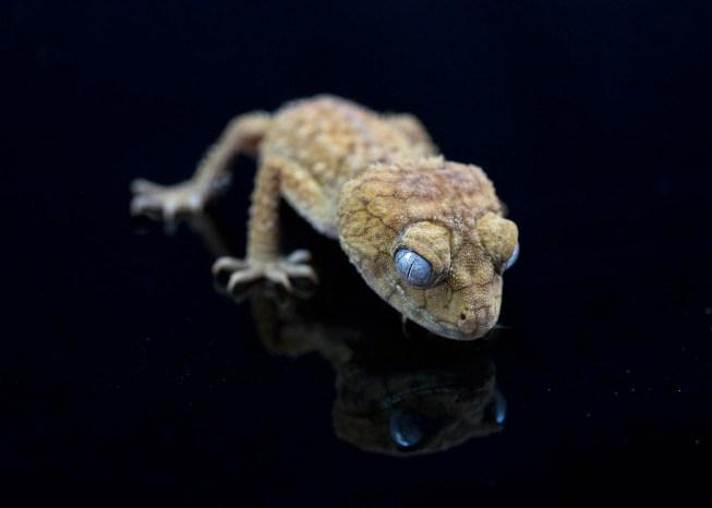 Julie Powell_Gecko-2