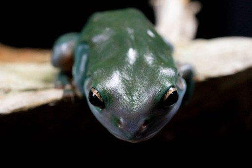 Julie Powell_Green Tree Frog-2