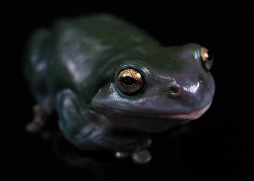 Julie Powell_Green Tree Frog