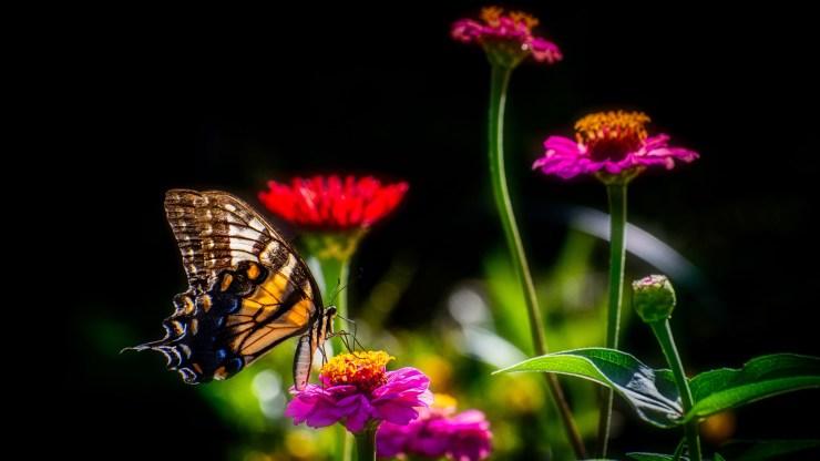 potd outdoor swallowtail