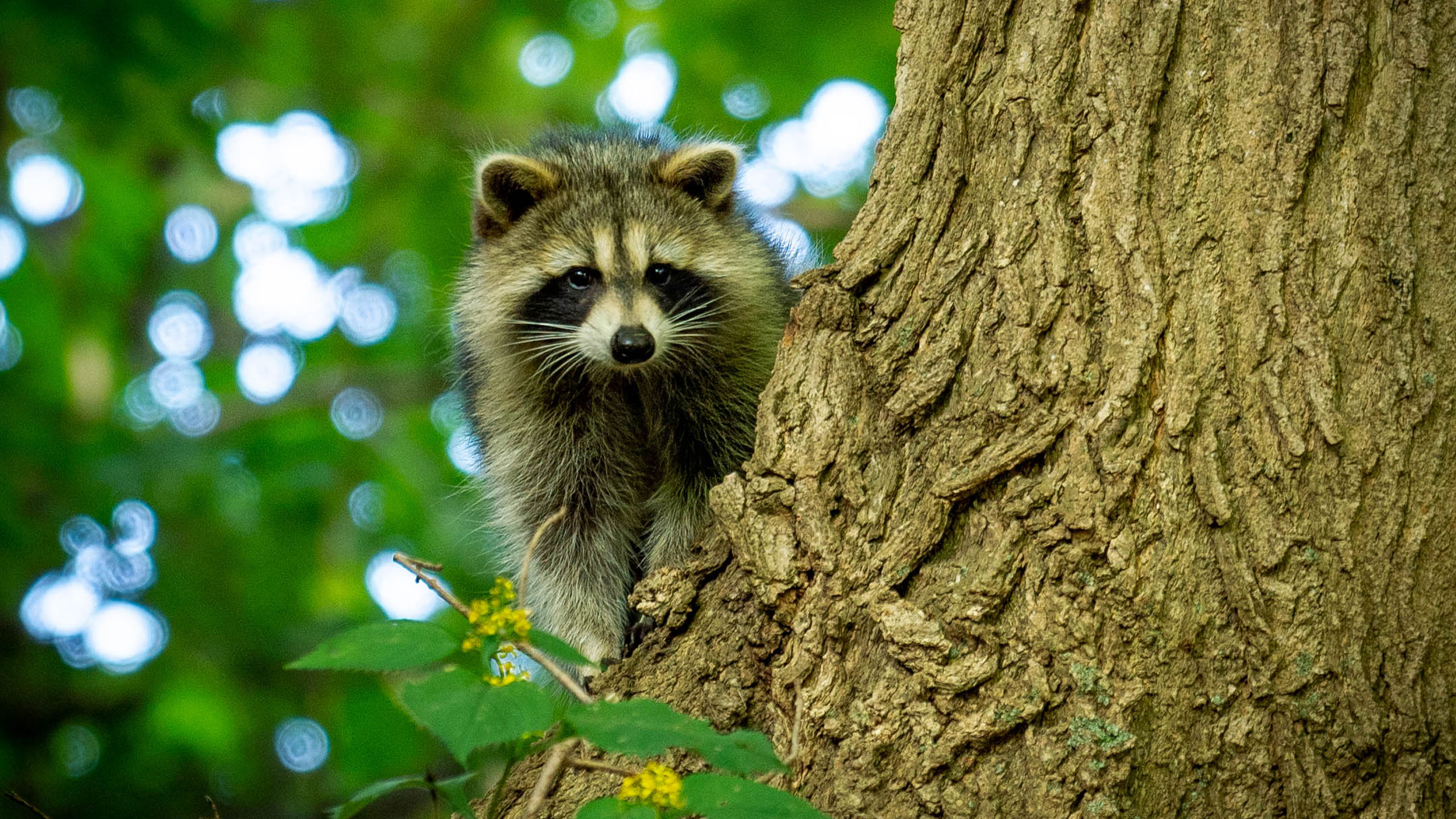 racoon in tree