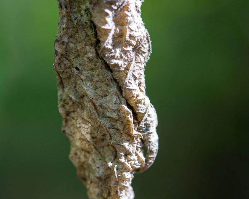 dried curled leaf macro photo