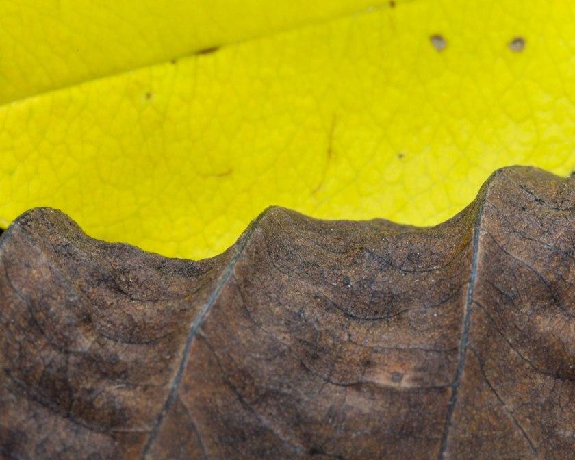 Yellow leaf with dried leaf macro photo