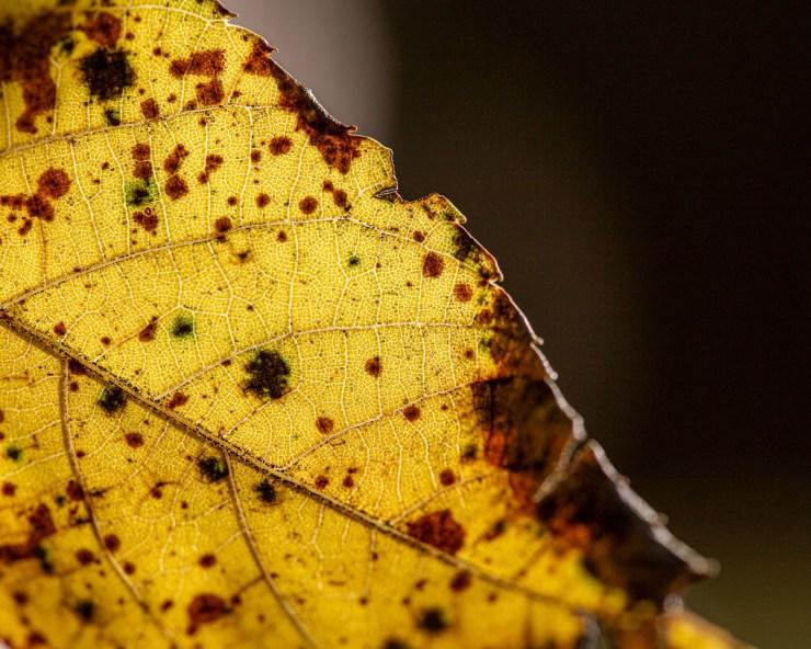 yellow fall leaf macro photo