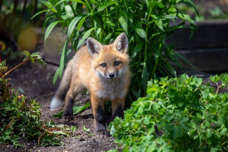 baby fox walking toward