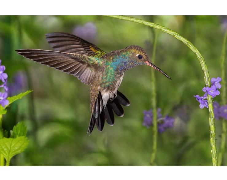 Hummingbird image before aspect ratio change
