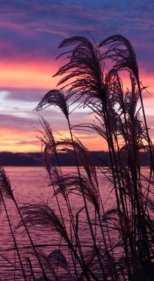 sunrise-thru-grass2
