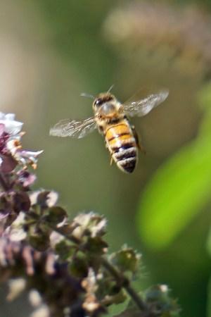 Maui Bees on Basil