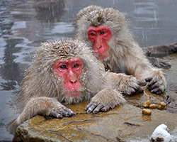 Snow Monkeys Nagano, Japan