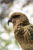 Kea, endangered bird, NZ