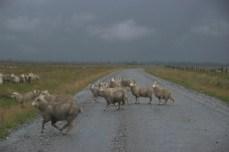Sheep running in the rain